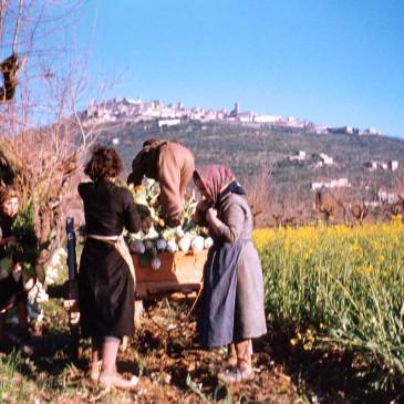 L'agricoltura nell'Aretino (1946-1990)