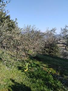 Berni - oliveto 1